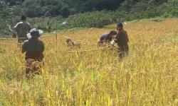 Paddy harvest in Khatoed Gewog