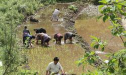 Paddy cultivation in higher and chiller climate